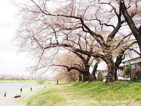 宮城県「一目千本桜」