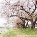 桜の名所|大河原町|地元愛に感動!一目千本桜の歴史から見るある男のロマン