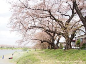 宮城県の桜の名所「一目千本桜」に地元愛あり。大河原の桜の歴史から見るある男のロマン