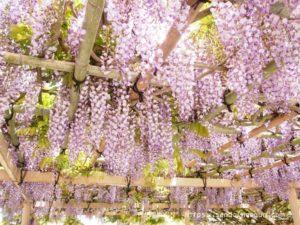 「金蛇水神社」宮城で金運アップの人気神社でみる藤が絶景。今年は牡丹園が無料開放
