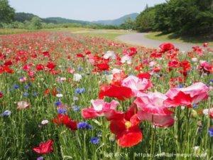 柴田郡「みちのく公園」のポピーを鑑賞。子連れで楽しめるエリアが豊富な公園