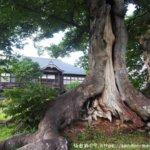 旧金成小学校校舎の樹齢600年のケヤキ