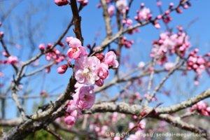 【3/20~】せんだい農業園芸センターの梅園が見頃!梅を見る会2020