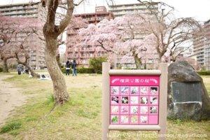 仙台で過去最速の桜の開花!榴岡公園や榴岡天満宮の開花状況レポ